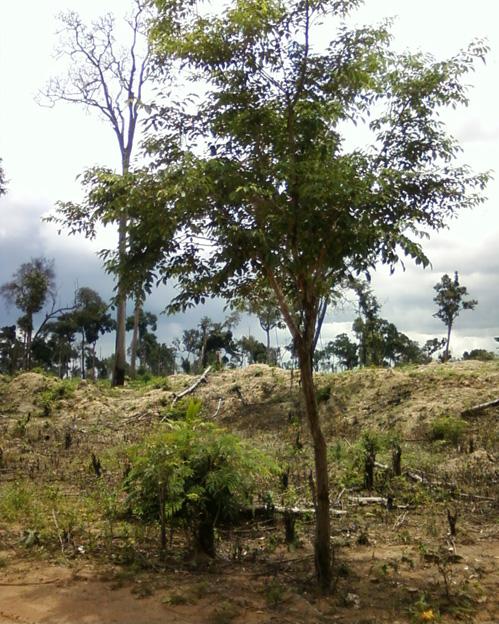 kronhung tree
